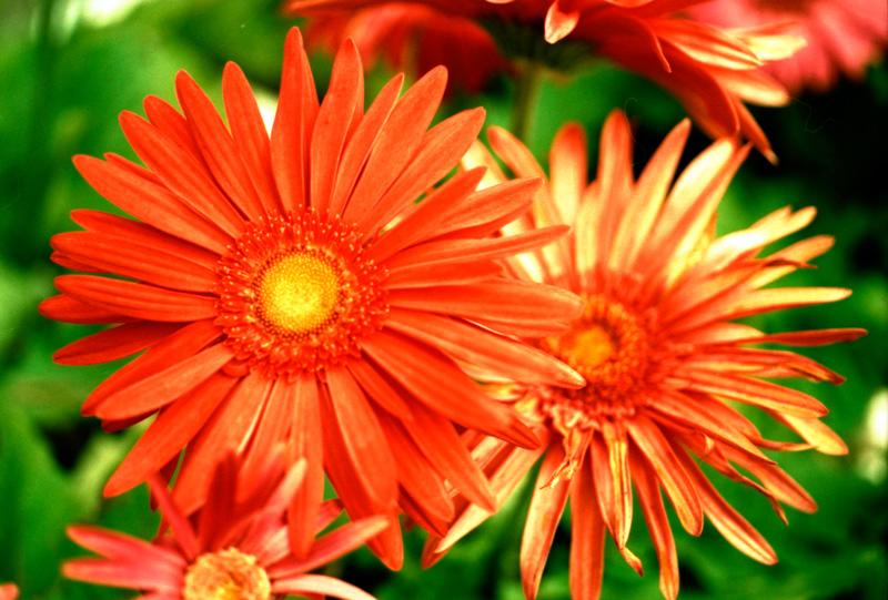 クロスな赤い花