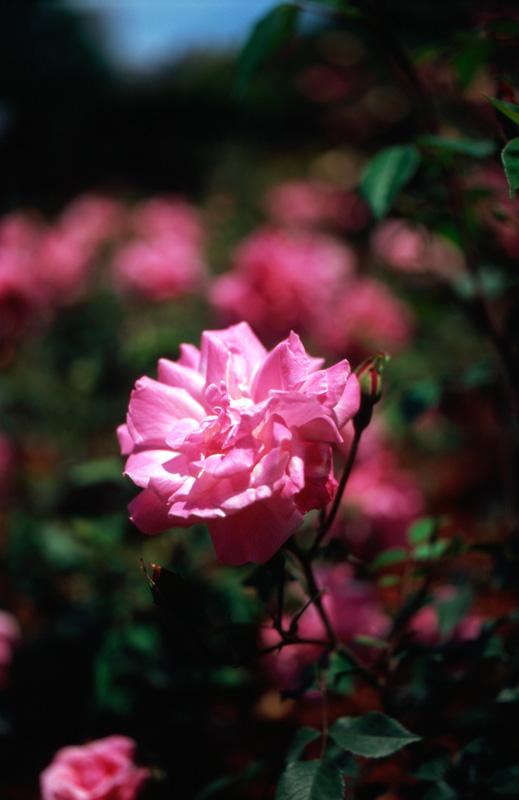 薔薇が咲いていた