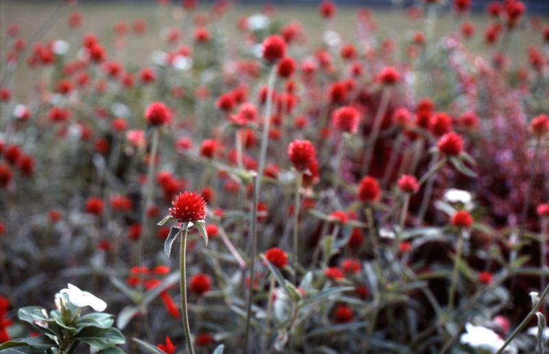 コダクロームで赤い花