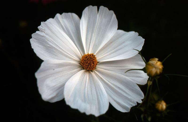 コダクロームで白い花