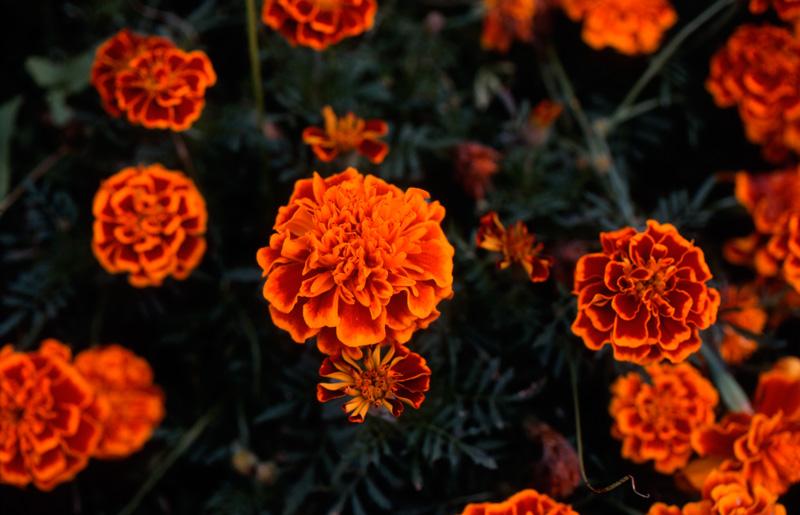 コダクロームでオレンジ色の花