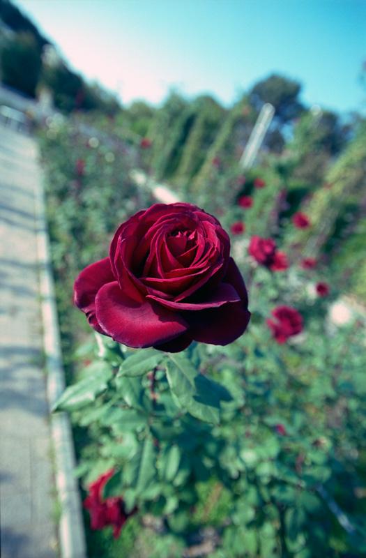 飛び出るバラ