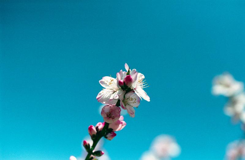 桜は咲いた