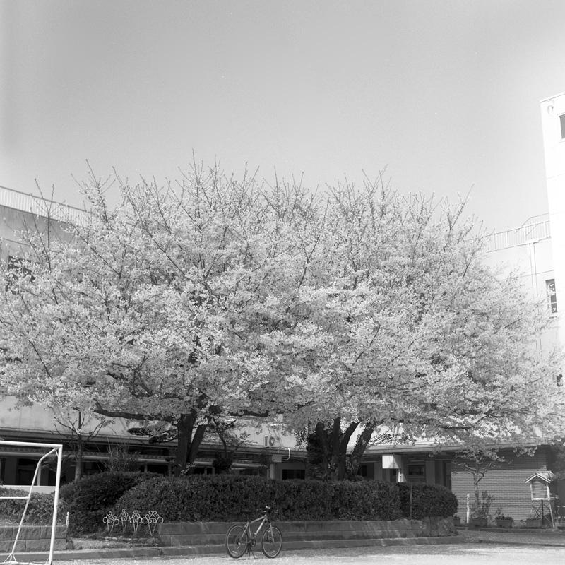 校庭の桜と自転車