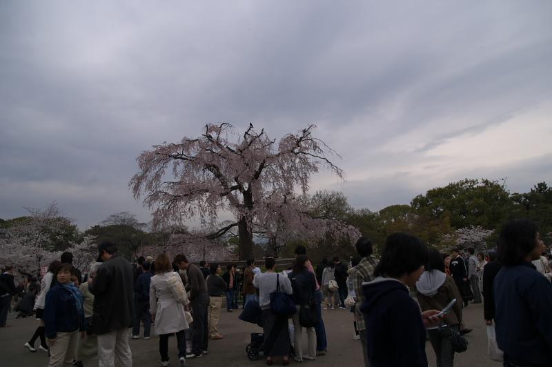 しだれ桜と人々