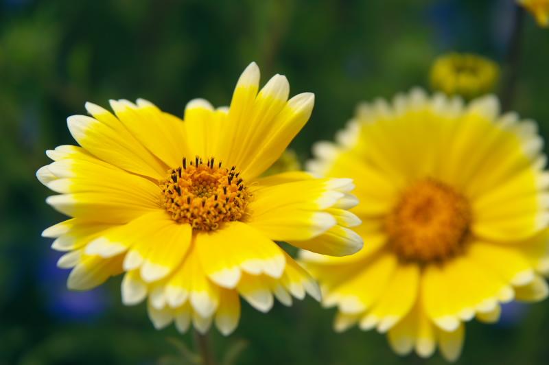 ベルビア調の花