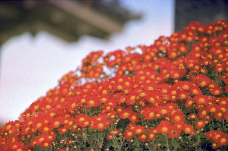 赤い花たち
