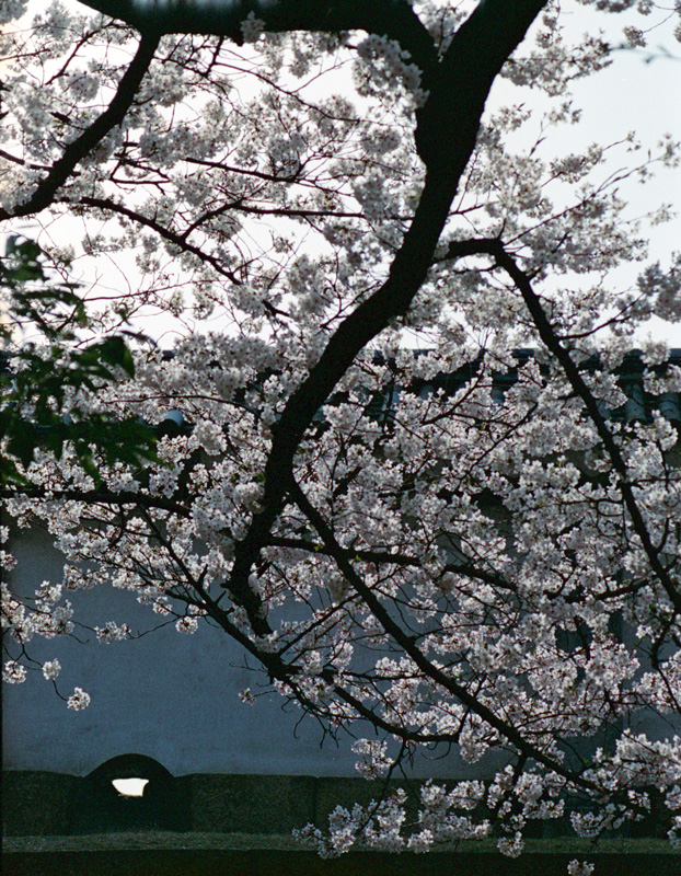 6.5/8の桜