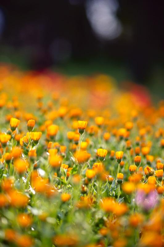 オレンジ色のハナ