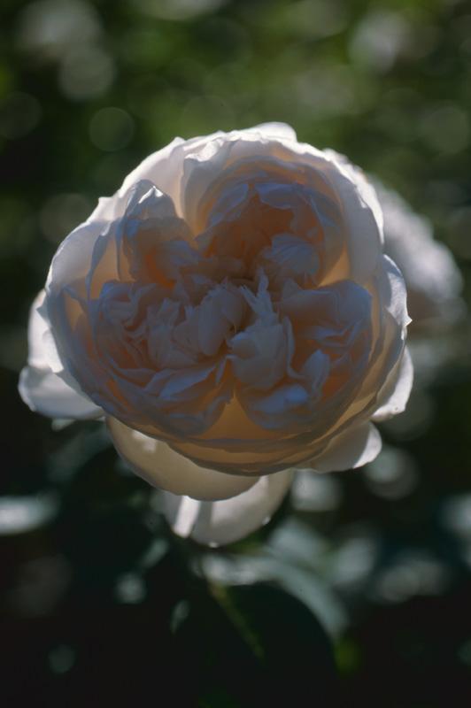 光に透けるバラ