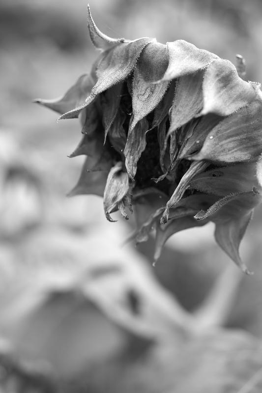 枯れた向日葵