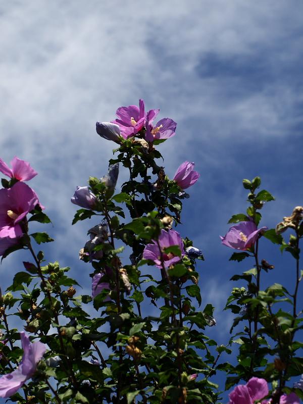 紫の花びら