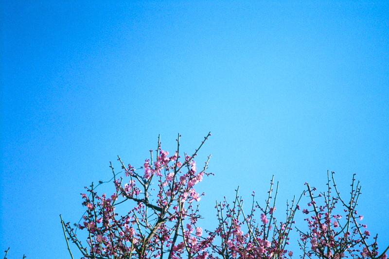 青空に梅の花