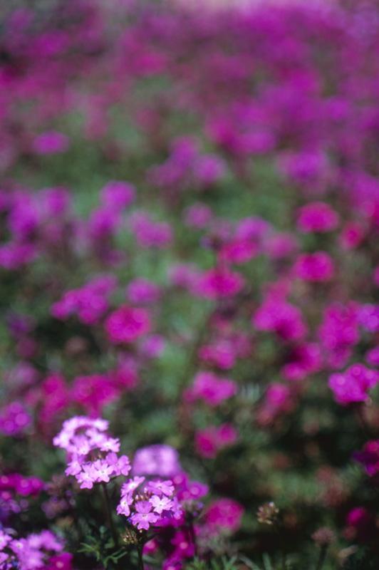 紫色の小さな花
