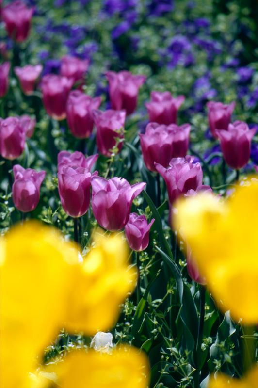 紫と黄色のチューリップ
