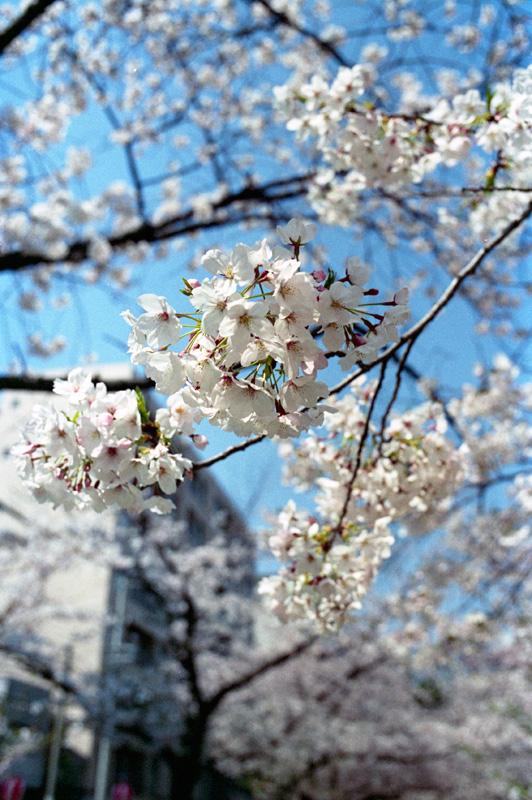 フィルムで桜