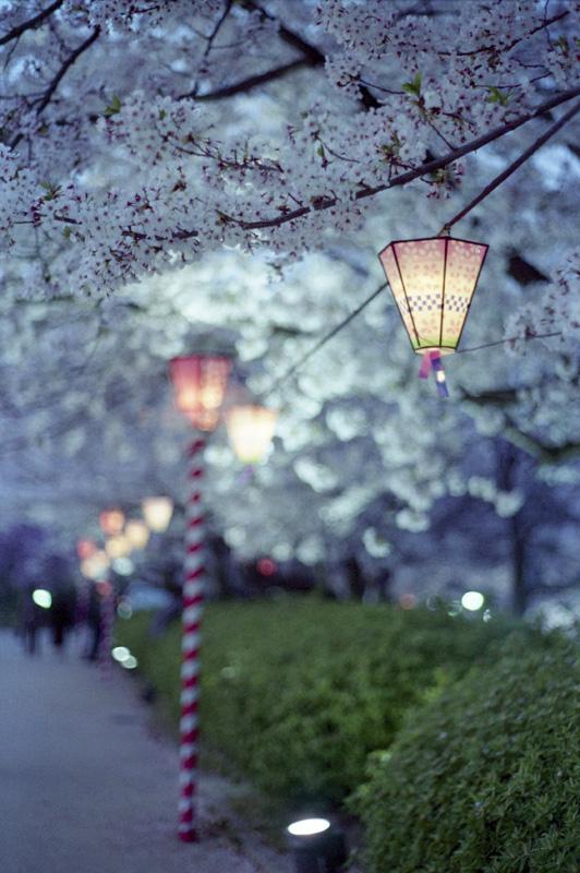 フィルムで夜桜