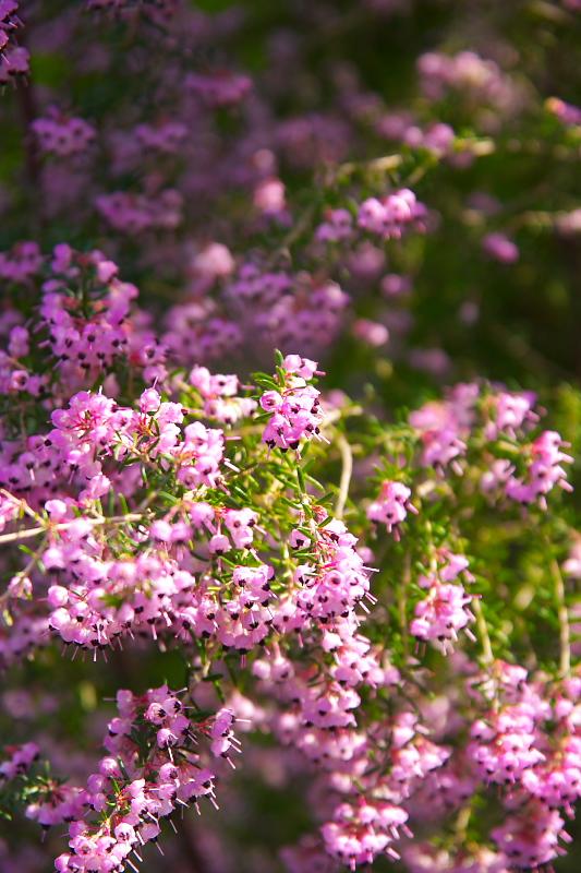 ピンクのツブツブ
