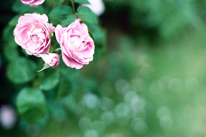 バラと落ちた花びら