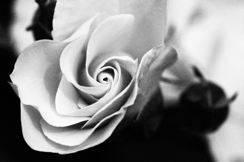 ラフモノクロームでバラ