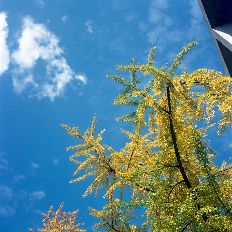 青空に黄色い葉っぱ