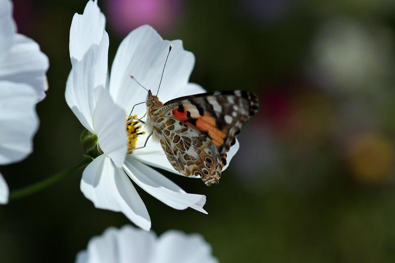 白いコスモスと蝶