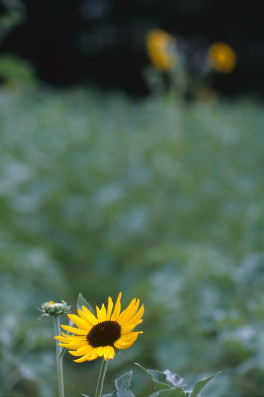 一輪の向日葵