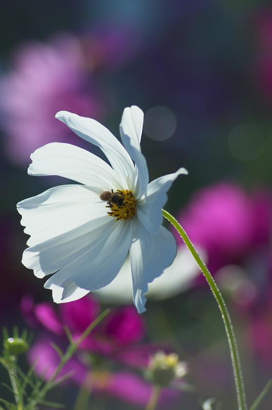 ハチと白いコスモス