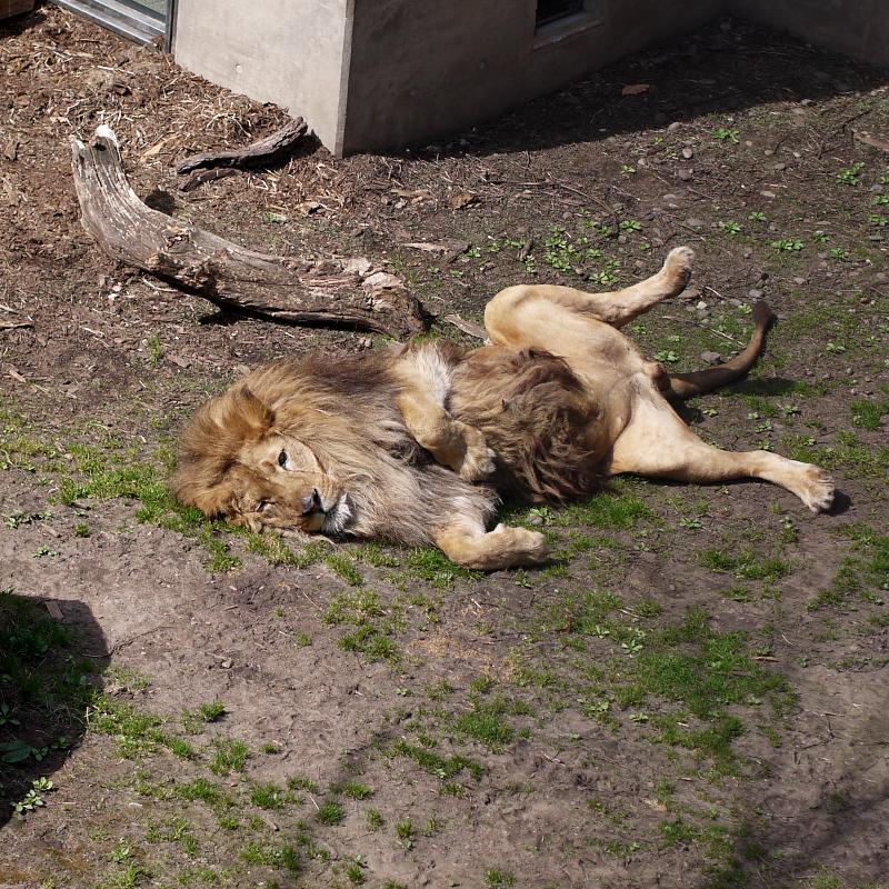 ライオンはやる気なし